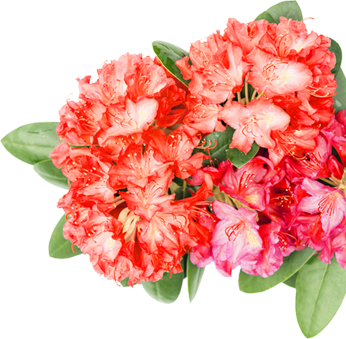 nepal-flower